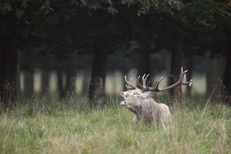Cervi rossi fotografia stock libera da diritti