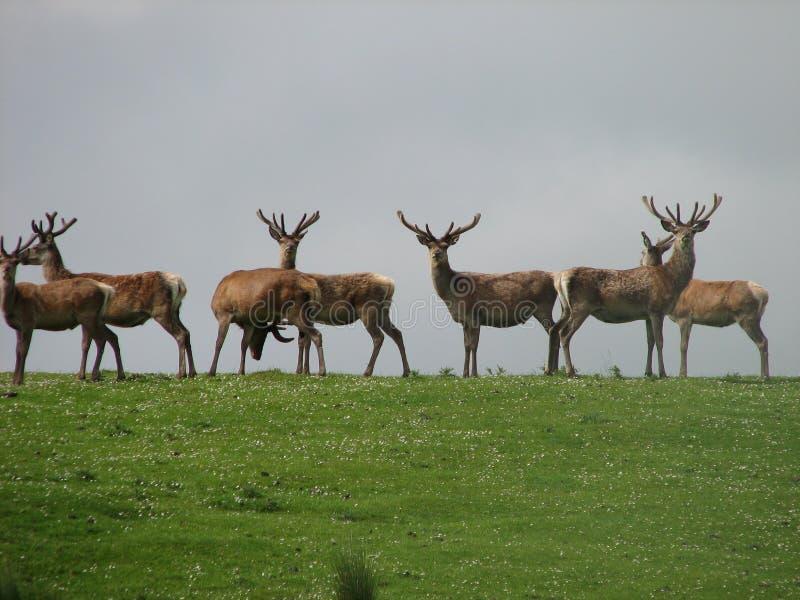 Download Cervi rossi scozzesi fotografia stock. Immagine di tramonto - 3893386