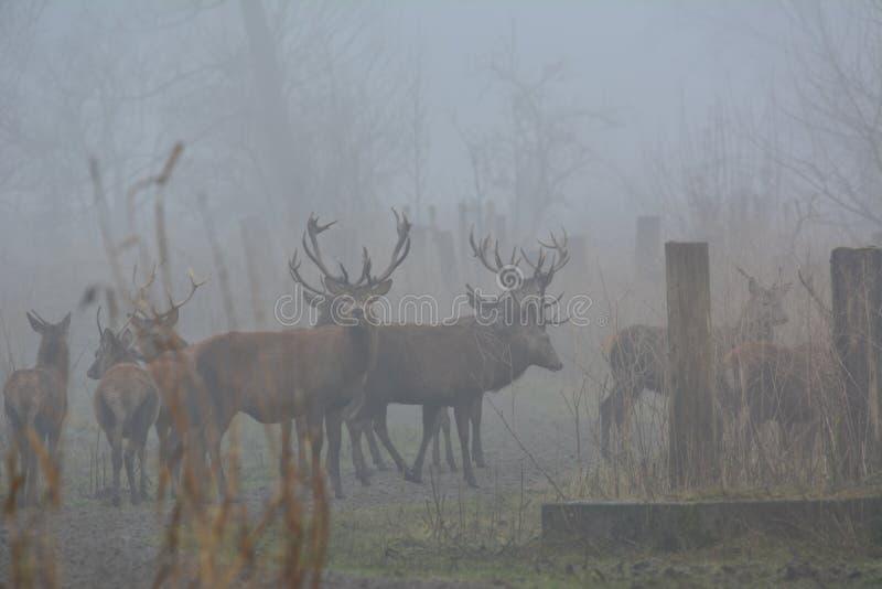 Cervi rossi un giorno con molta nebbia a dicembre nel Oostvaardersplassen nei Paesi Bassi fotografia stock libera da diritti