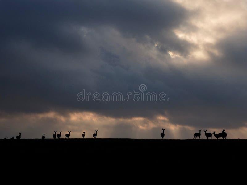 Cervi Sika di Formosa immagini stock libere da diritti