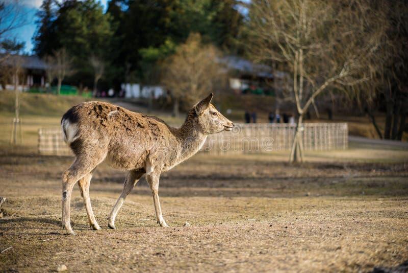 Cervi Sika in un parco immagini stock libere da diritti