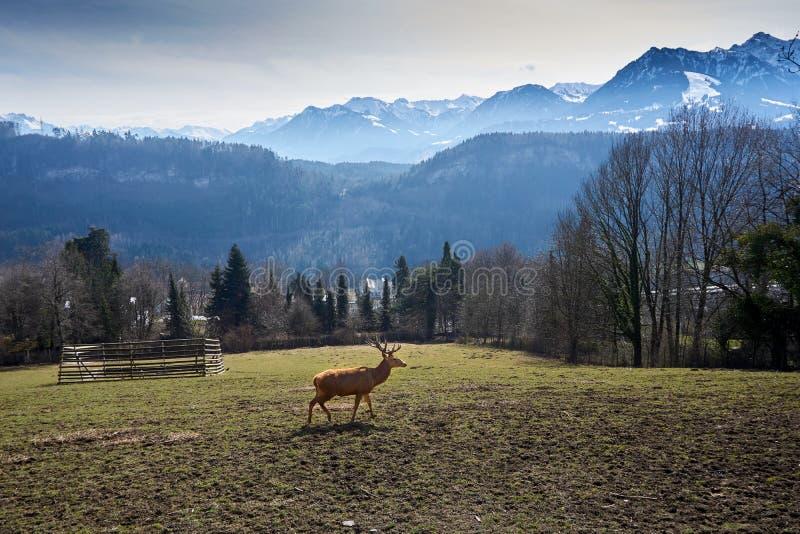Cervi sul campo in Austria con le montagne con neve e sul legno nel fondo fotografie stock libere da diritti