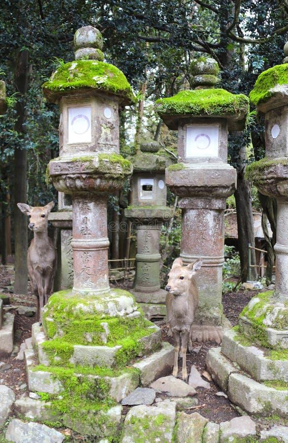 Cervi svegli e lanterne di pietra al grande santuario di Kasuga, Nara Japan immagine stock libera da diritti