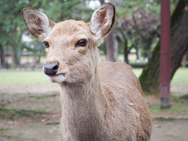 Cervi svegli in Nara Park fotografia stock