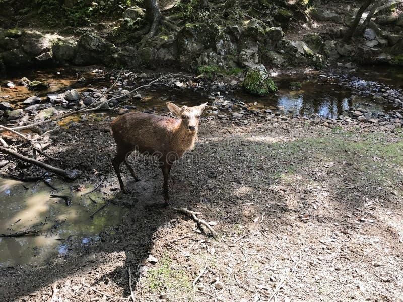 Cervi svegli nel parco di Nara, Giappone fotografie stock libere da diritti