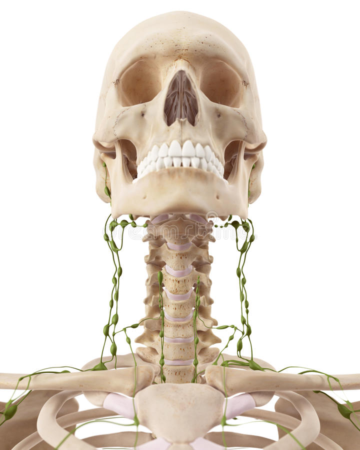The cervical lymph nodes. Medically accurate illustration of the cervical lymph nodes royalty free illustration