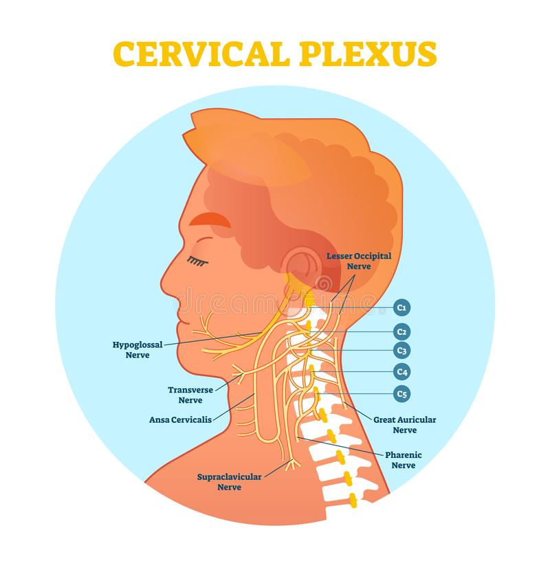 Cervical Plexus anatomical nerve diagram, vector illustration scheme with neck cross section. royalty free illustration