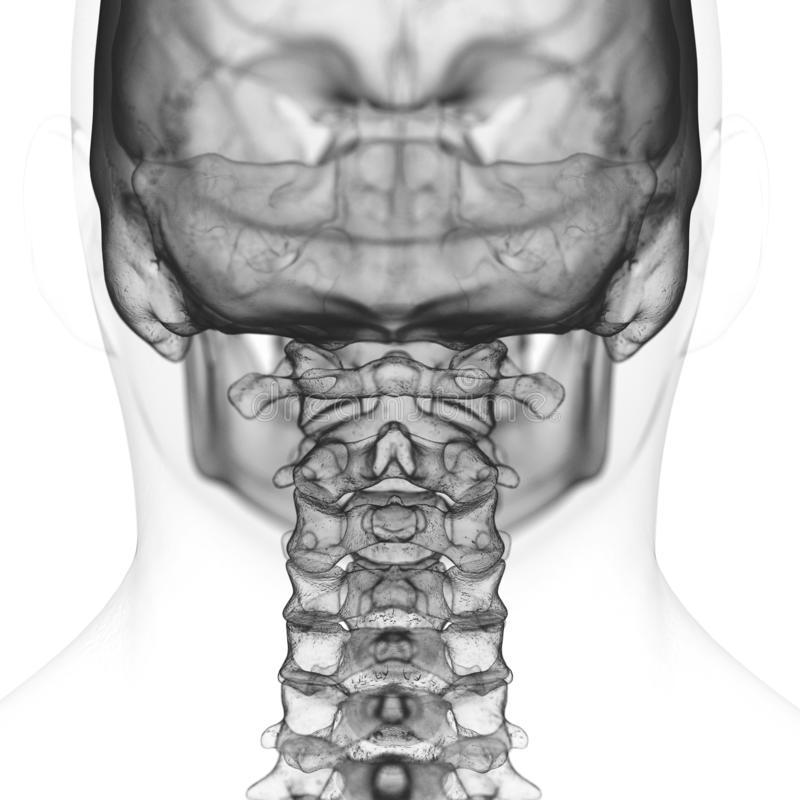 the cervical spine stock illustration