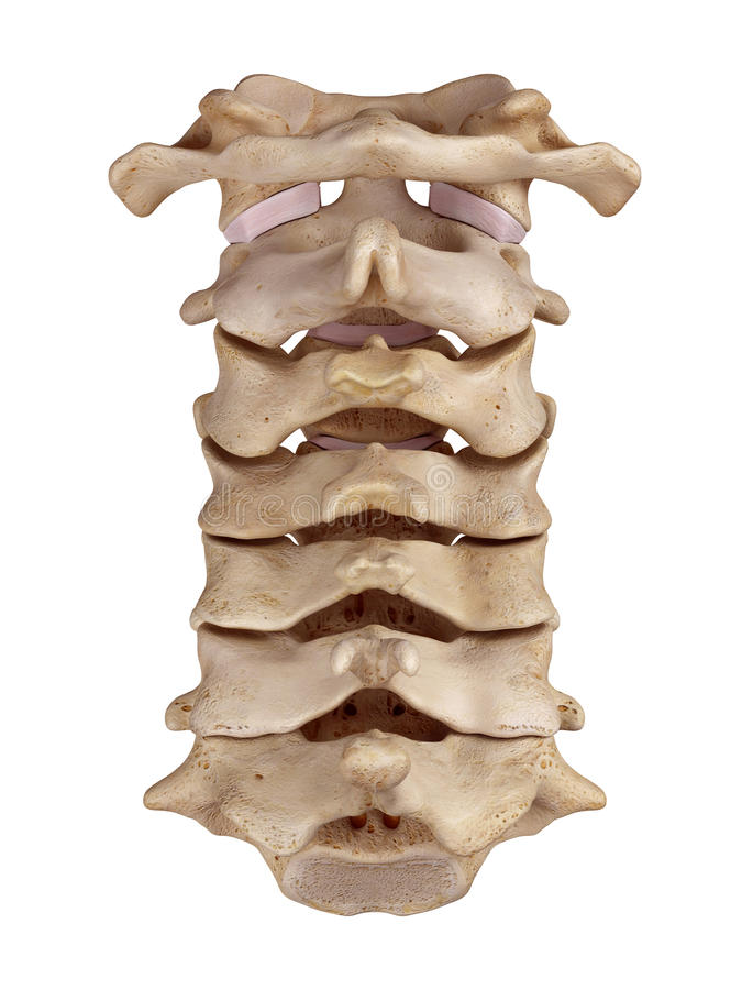 The cervical spine. Medically accurate illustration of the cervical spine vector illustration