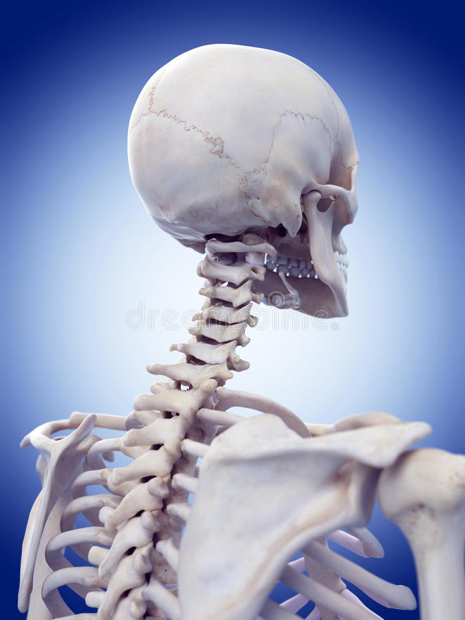The cervical spine. Medically accurate illustration of the cervical spine stock illustration