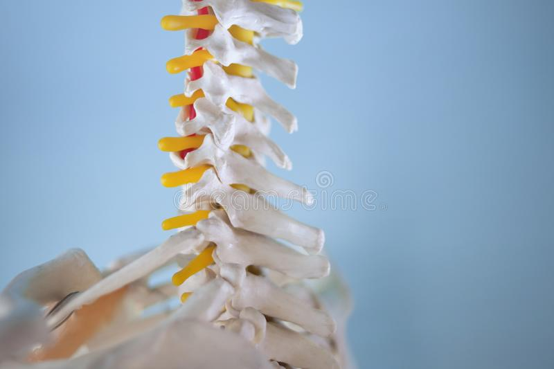 Cervical vertebrae. Neck. Fragment of human skeleton on blue background. Cervical vertebrae. Neck. Fragment of a human skeleton on a blue background stock photos