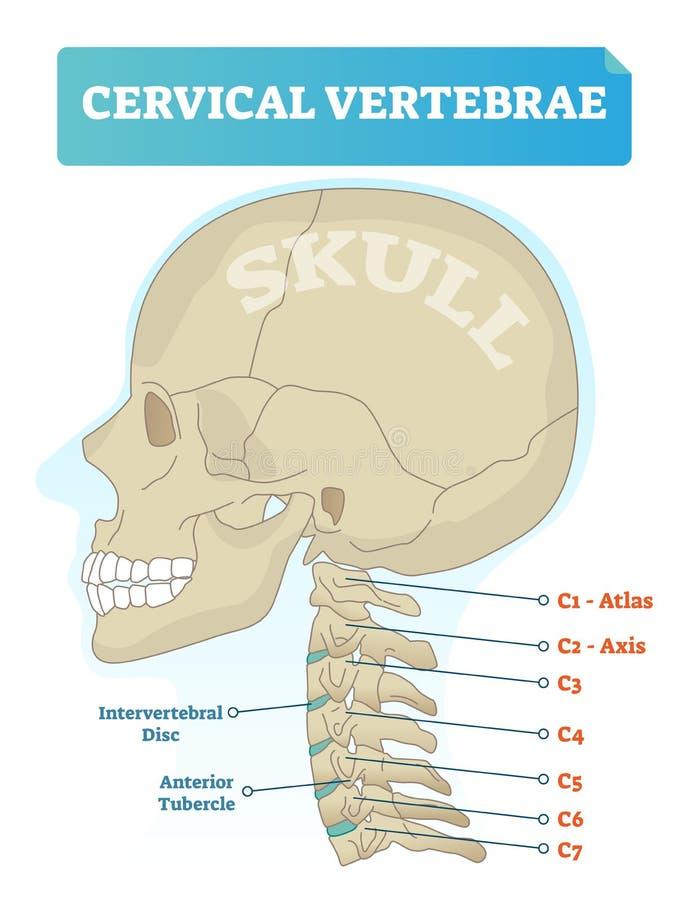 Cervical vertebrae vector illustration. Scheme with skull and C1 atlas vertebra. Intervertebral disc and anterior tubercle diagram. Vector illustration of stock illustration