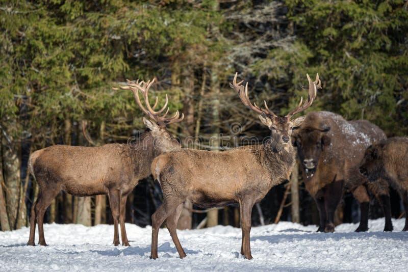 Cervidae 2 красных оленей и зубр бизона 2 европейцев против конца-Вверх рогача красных оленей леса зимы на запачканном Backgrou стоковые фото