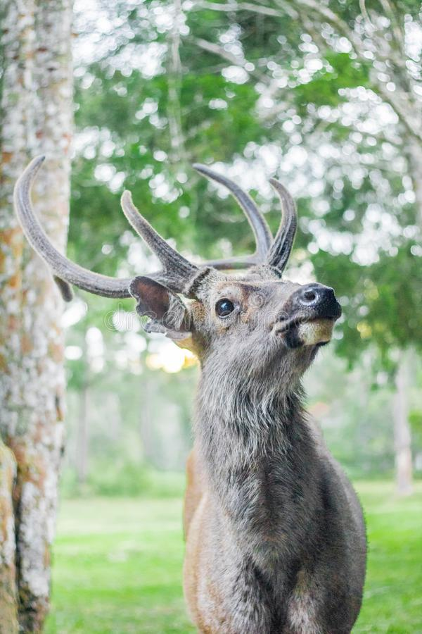 Cervidae. Adult background belarus big cervidae deer field foggy forest horns landscape noble red single snow snowy stag trophy wildlife wild beautiful horn fur royalty free stock photos