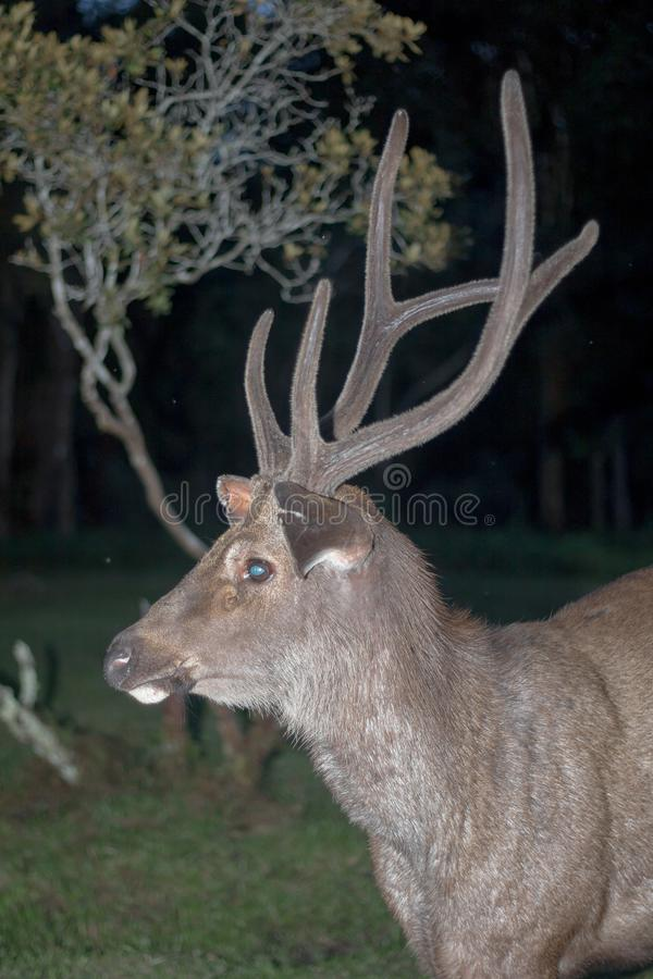 Cervidae. Adult background belarus big cervidae deer field foggy forest horns landscape noble red single snow snowy stag trophy wildlife wild beautiful horn fur royalty free stock photography
