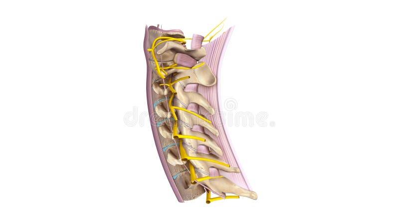 Cervikal rygg med ligamentet och nervsidosikt stock illustrationer