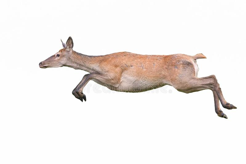 Cervo rosso, cervo elafo cervicale, con funzionamento dinamico isolato su fondo bianco fotografia stock