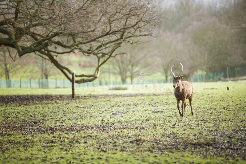 Cervos foto de stock royalty free