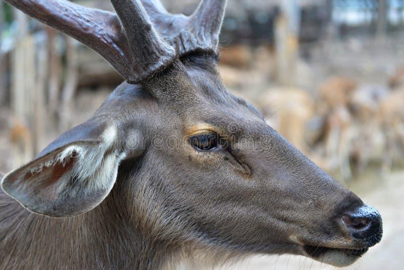Cervos fotografia de stock royalty free
