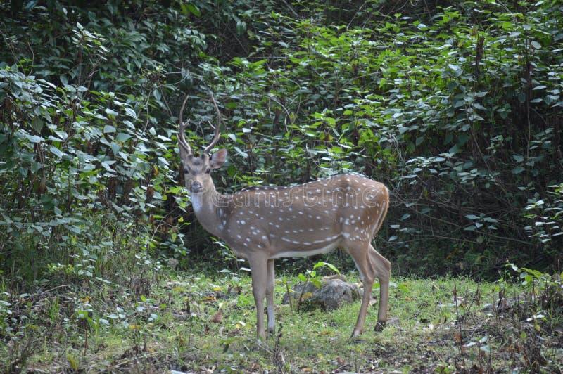 Cervos ainda imagens de stock royalty free