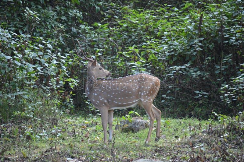 Cervos ainda fotografia de stock royalty free