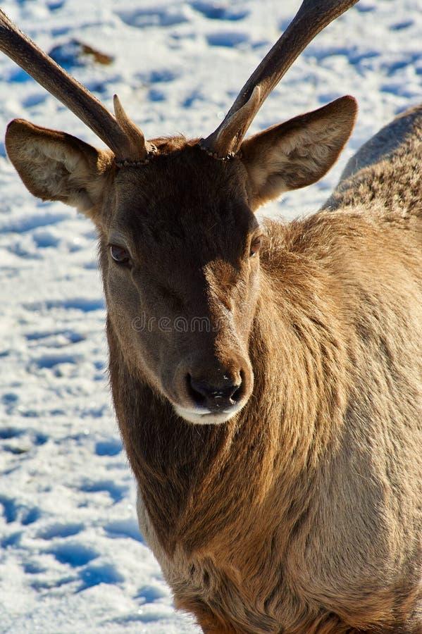 Cervos Animais selvagens de Cazaquistão imagem de stock