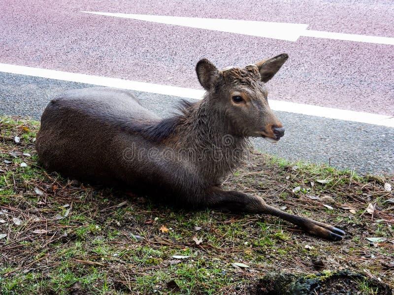 Cervos ao lado da rua fotos de stock royalty free