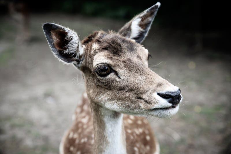 Cervos assustados do close-up imagem de stock royalty free