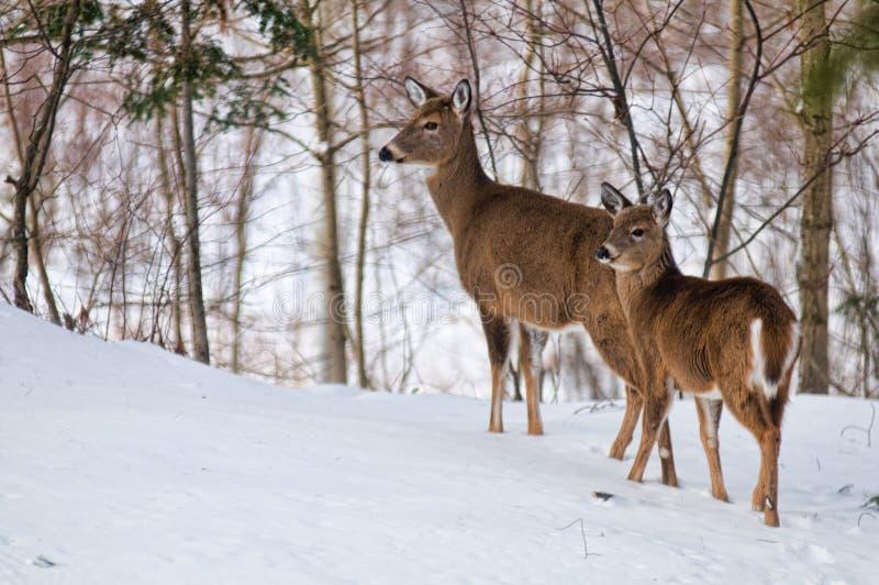 Cervos atados branco do inverno imagens de stock