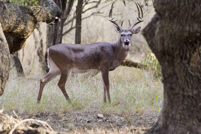 Cervos atrás da árvore foto de stock royalty free