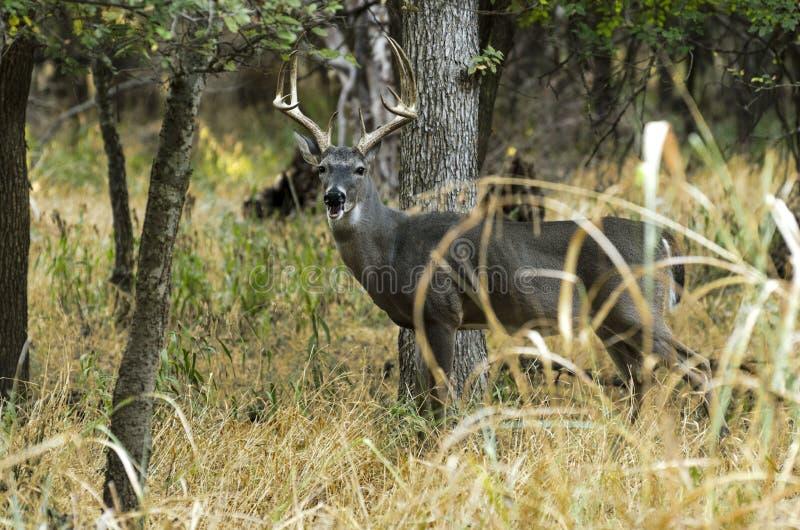 Cervos atrás da árvore imagens de stock royalty free
