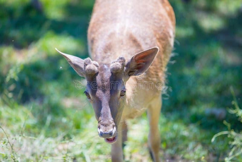 Cervos bonitos no verão fotos de stock