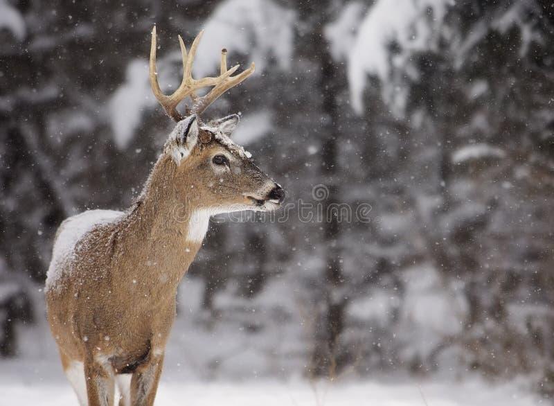 cervos Branco-atados imagem de stock