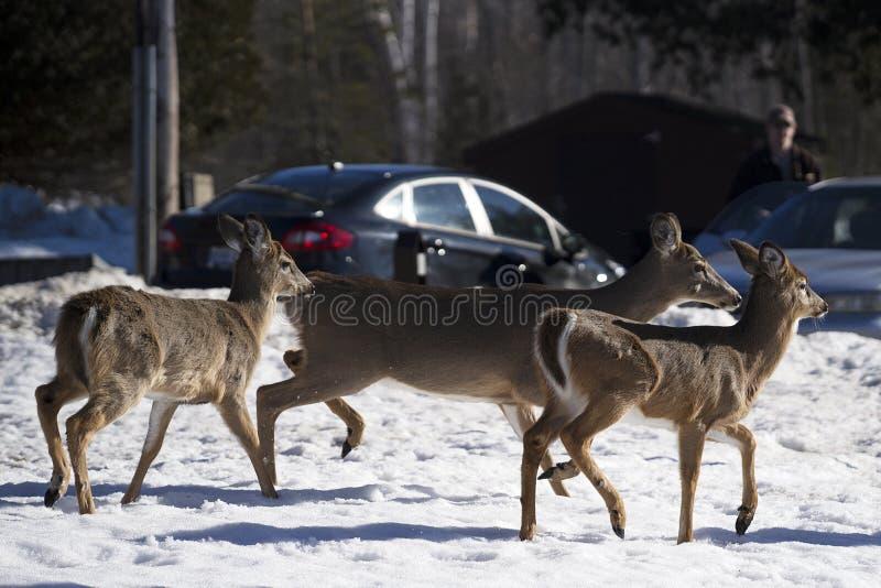 Cervos Branco-atados na cidade durante o inverno imagens de stock royalty free