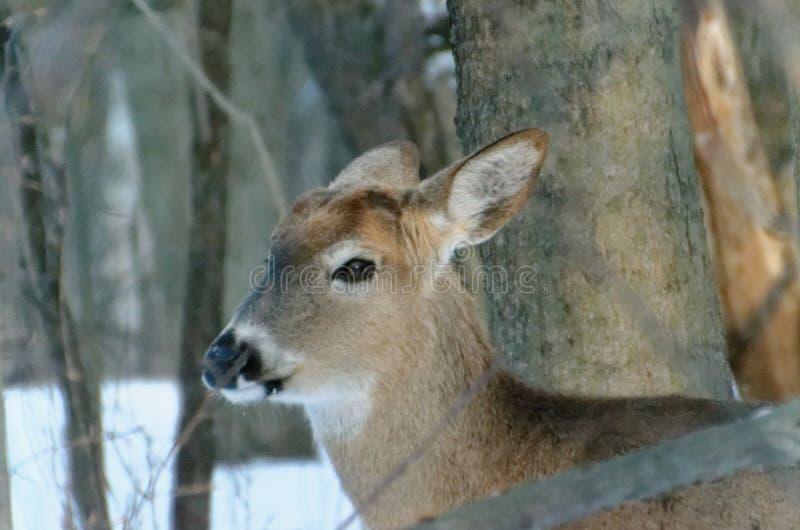 cervos Branco-atados - Ontário, Canadá fotos de stock royalty free