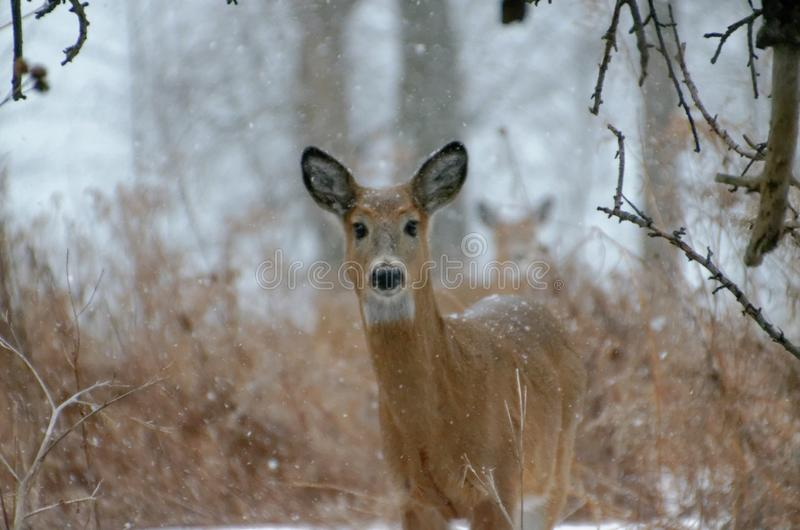 cervos Branco-atados - Ont?rio, Canad? imagem de stock royalty free