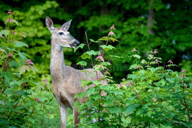 cervos Branco-atados que comem as folhas de bordo imagem de stock