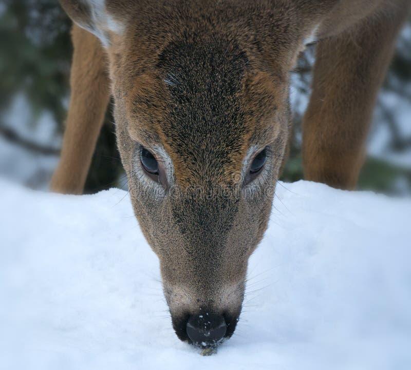 cervos Branco-atados - virginianus do Odocoileus, retrato do close up de uma gama nova imagens de stock