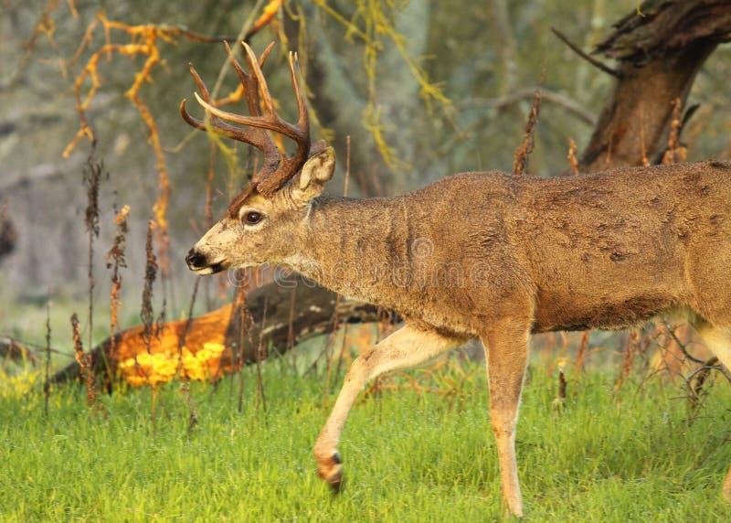 Cervos Buck Walking imagem de stock