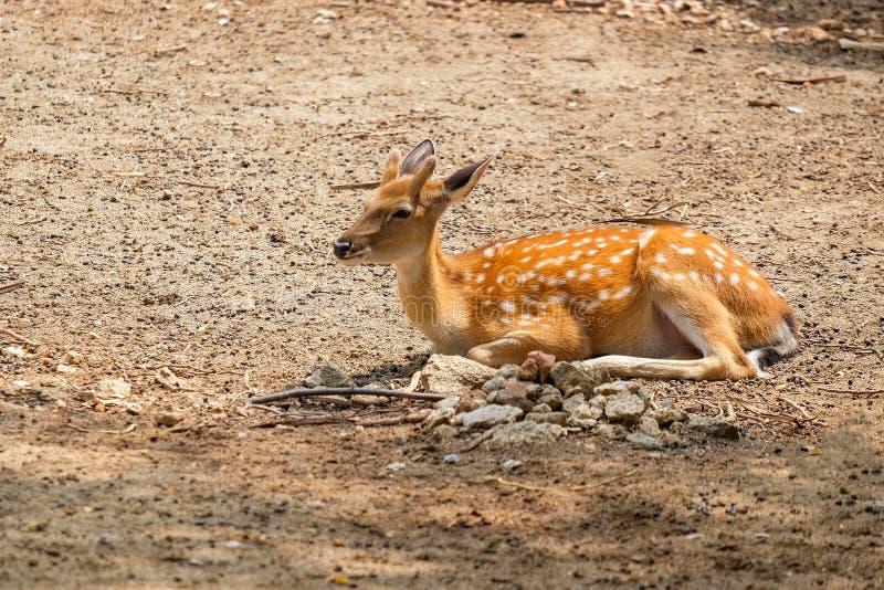 Cervos chital dos animais selvagens animais ou cheetal fêmeas imagens de stock royalty free