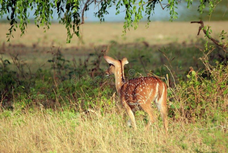 Cervos cingaleses da linha central fotos de stock royalty free