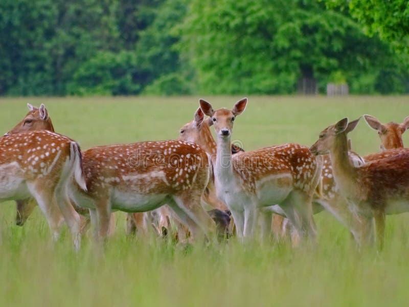 Cervos curiosos imagens de stock
