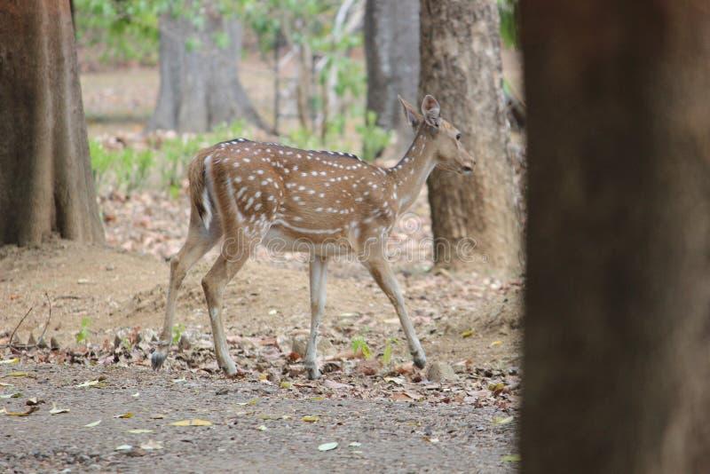 Cervos da floresta imagens de stock royalty free