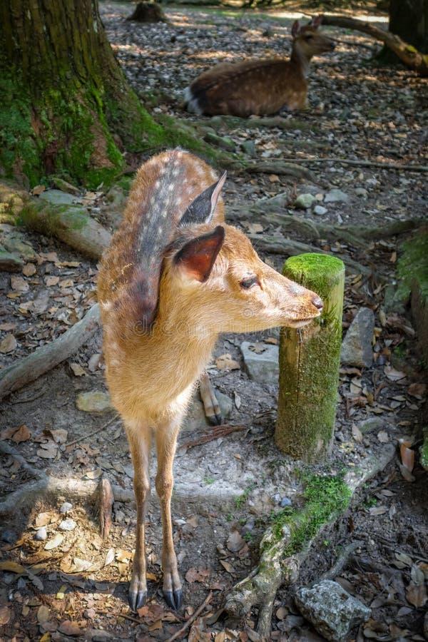 Cervos da jovem corça de Sika na floresta de Nara Park, Japão fotos de stock