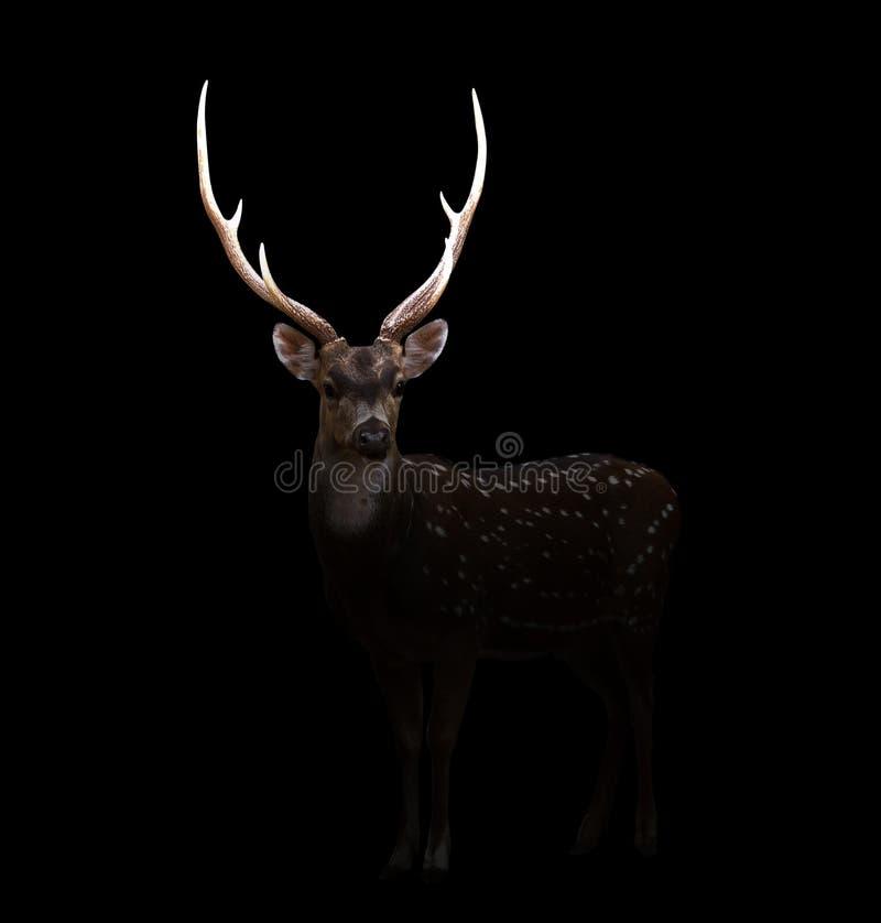 Cervos da linha central na obscuridade imagens de stock royalty free