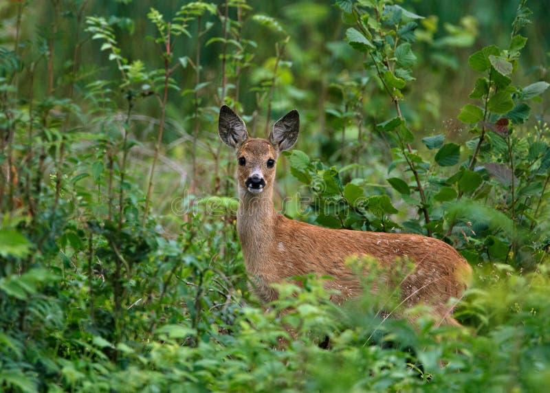 Cervos das ovas fotografia de stock