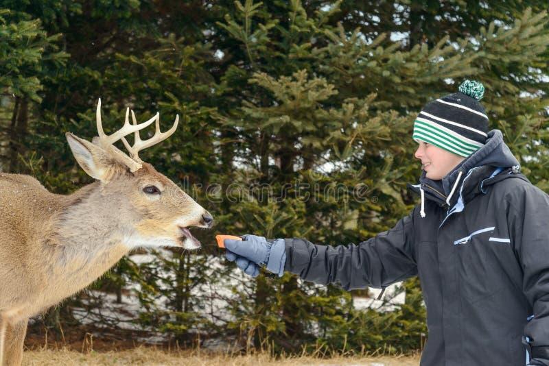 Cervos de alimentação do menino no parque da ômega de Quebeque foto de stock royalty free
