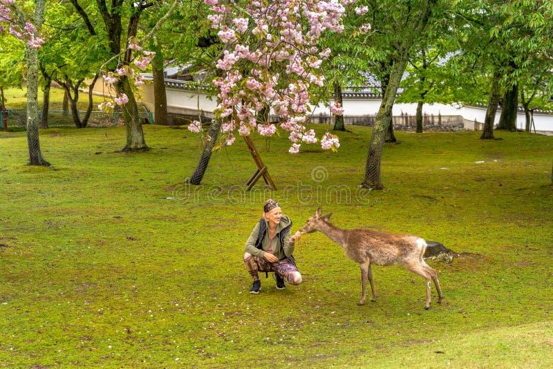 Cervos de alimentação Hanami de Nara fotografia de stock