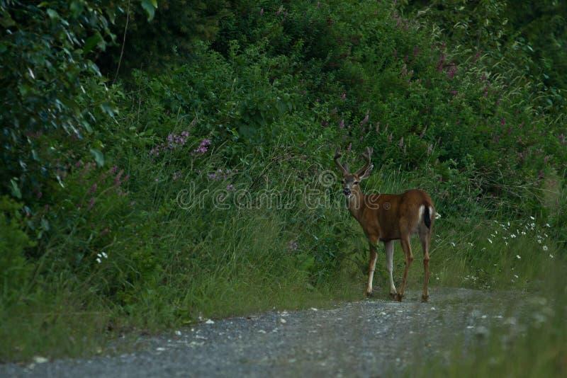 Cervos de Blacktail foto de stock royalty free