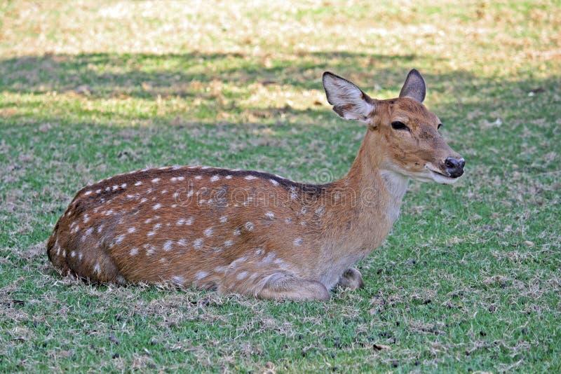 Cervos de Chital imagem de stock